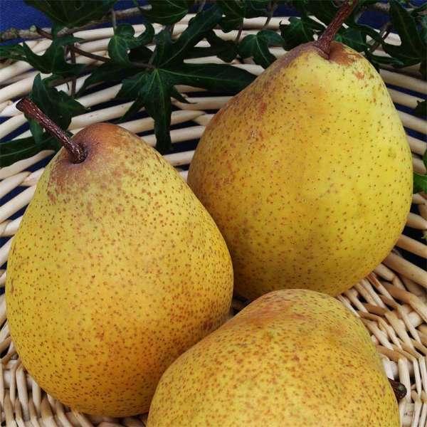 Birnbaum Köstliche von Charneux