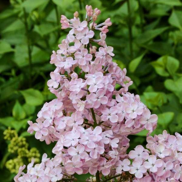 Hyazinthen-Flieder 'Rosenrot'
