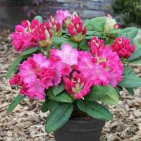 Rhododendron Hybride Germania