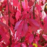 Euonymus-alatus-Unforgettable-Fire-Herbstlaub