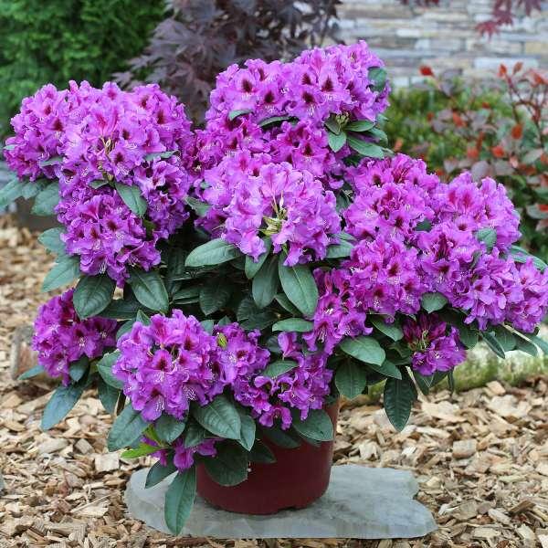 Rhododendron-Hybride-Rasputin-01
