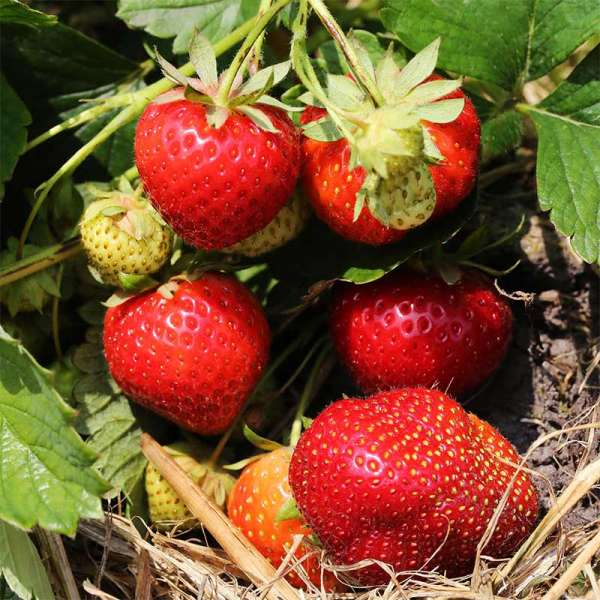 Erdbeere Mara des Bois