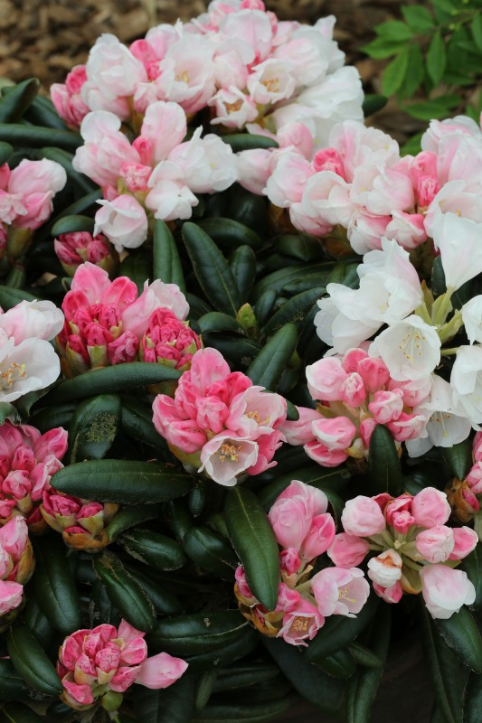 rhododendron online kaufen bei annas. Black Bedroom Furniture Sets. Home Design Ideas