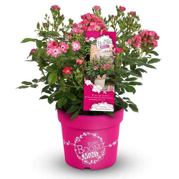 Beetrose Rosy Boom Mini