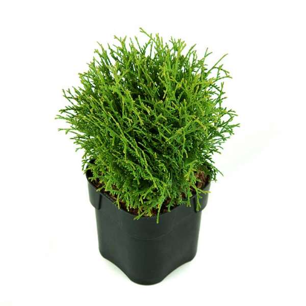 Zwerg-Lebensbaum Tiny Tim