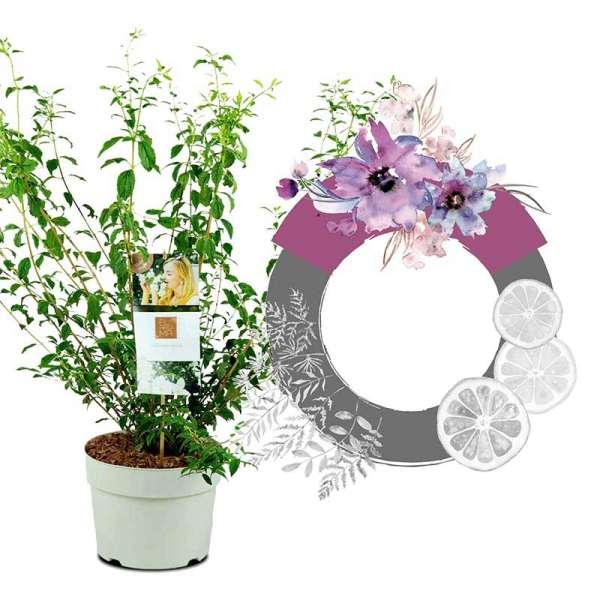 Grand Fl'Aroma Pfeifenstrauch Sheer Blossom