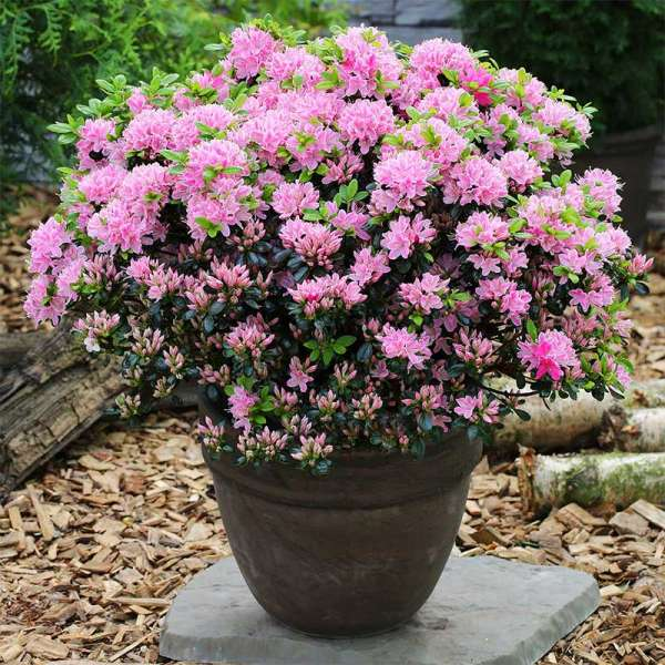 Japanische Azalee Kermesina Rose