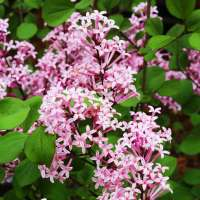 Flieder-Syringa-meyeri-Red-Pixie-01