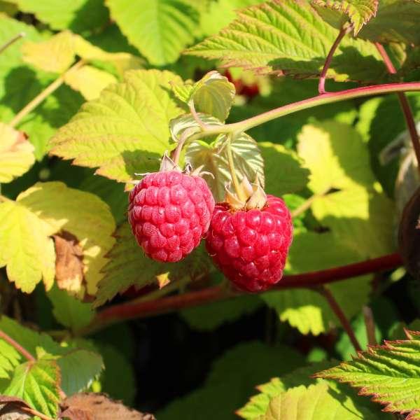Rubus-idaeus-Glen-Fyne-Fruits-01