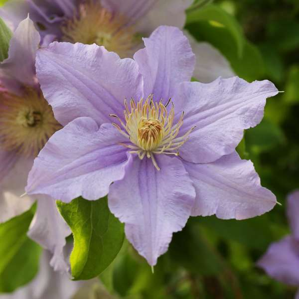 Waldrebe-Clematis-viticella-Prince-Charles-01