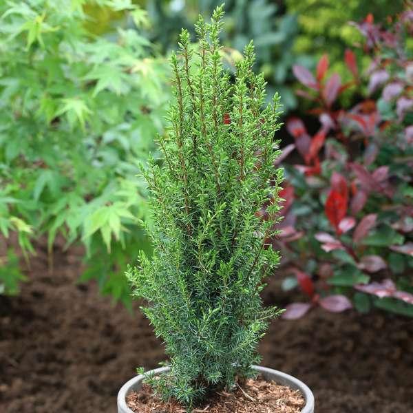 Wildwacholder-Juniperus-communis-Arnold-01