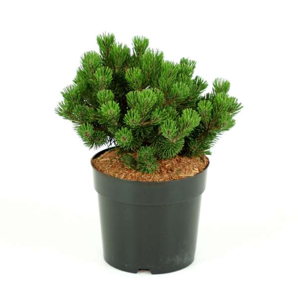 Zwerglatschenkiefer-Pinus-mugo-Sherwood-Compact-C4_6
