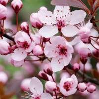 Zwerg-Blutpflaume Prunus cistena