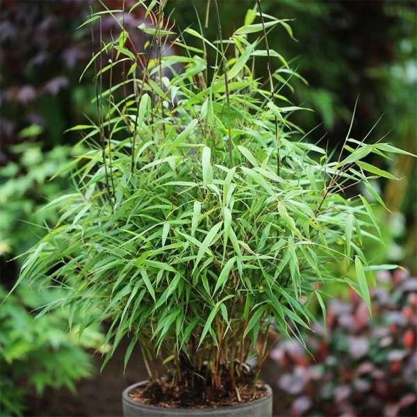 Bambus Asian Wonder