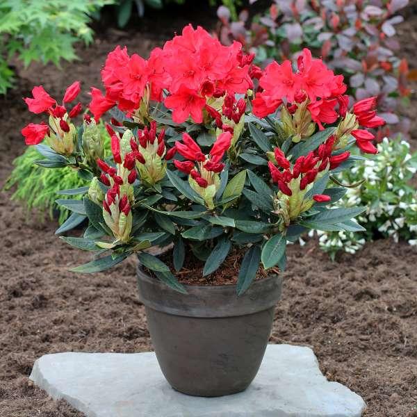 Rhododendron-Hybride-Vulcan-Topf