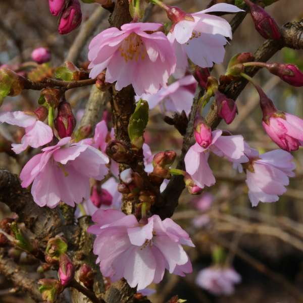 Zwergkirsche-Prunus-kurilensis-Ruby-01