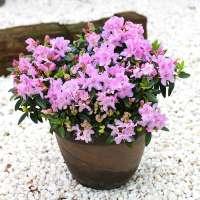 Zwerg-Rhododendron keleticum