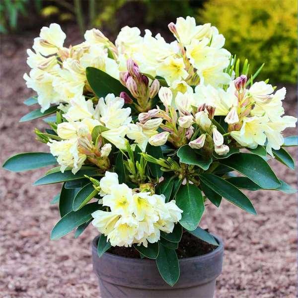 Rhododendron INKARHO® Gelbe Dufthecke