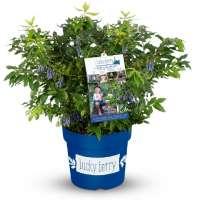 4-Monats-Heidelbeere 'Lucky Berry' ®