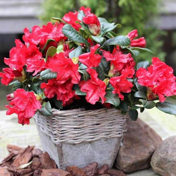Zwerg-Rhododendron Scarlet Wonder Korb