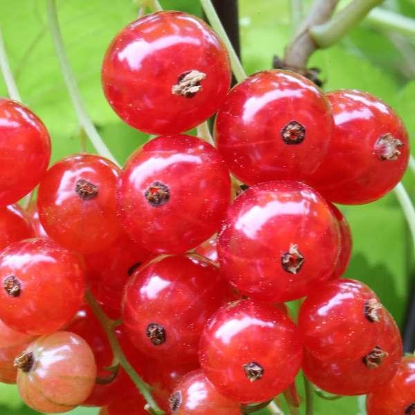 Ribes-rubrum-Traubenwunder-D1