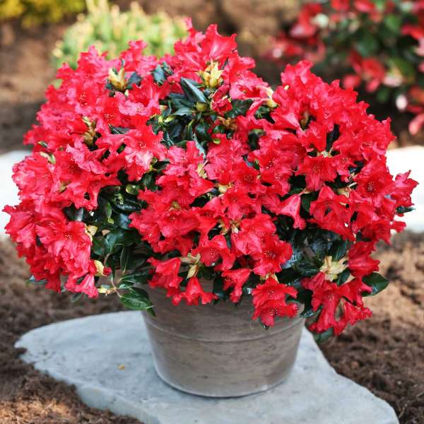 Rhododendron repens Baden Baden Topf