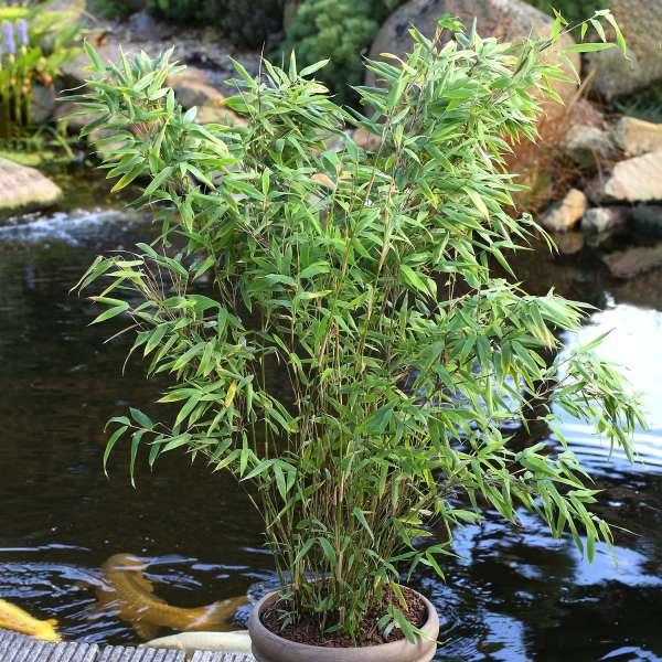 Gartenbambus-Fargesia murieliae-Eike-Topf