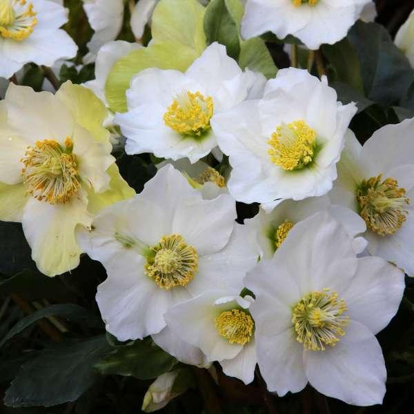 Christrose Blüten 01