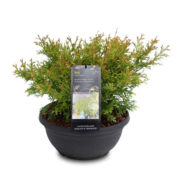 Zwerg-Hiba-Lebensbaum Nana Schale