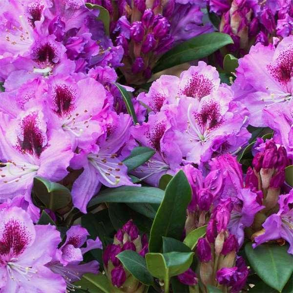Rhododendron Pfauenauge