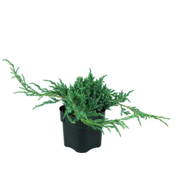Kriechwacholder-Juniperus-squamata-Blue-Carpet-C2-25-30