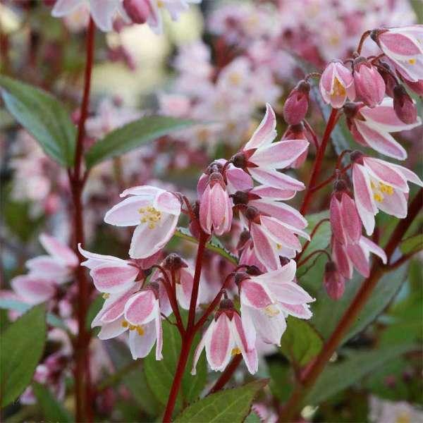 Maiblumenstrauch / Deutzie Yuki Cherry Blossom