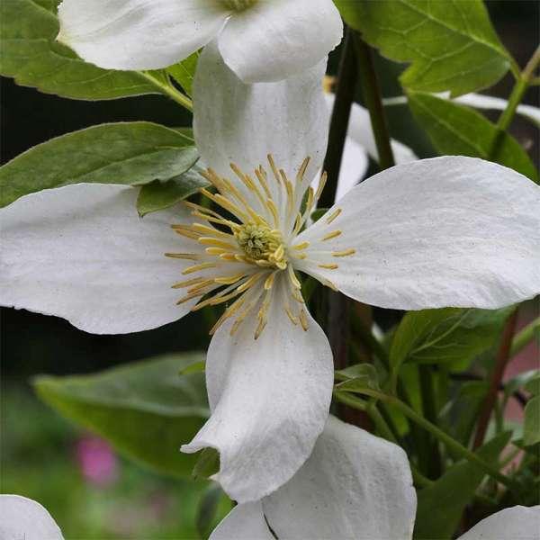 Waldrebe Grandiflora