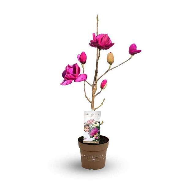 Magnolie Meganolia Pink