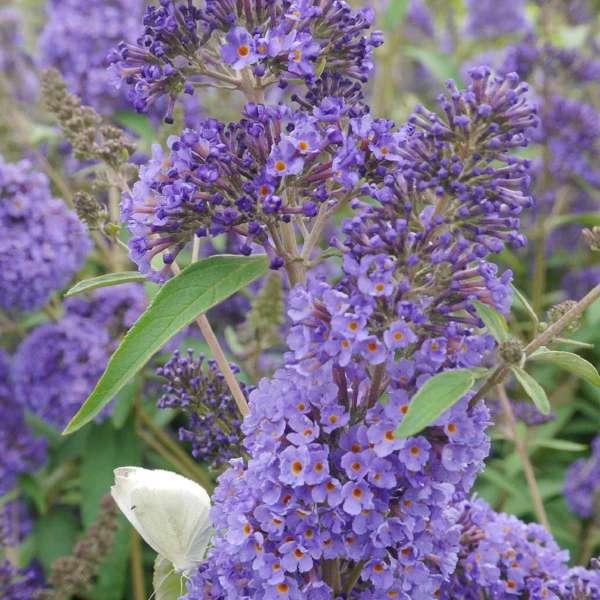 Sommerflieder Ellen's Blue Blüten