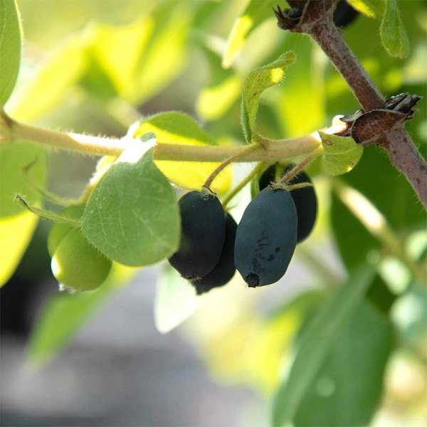 Honigbeere Myberry Sweet