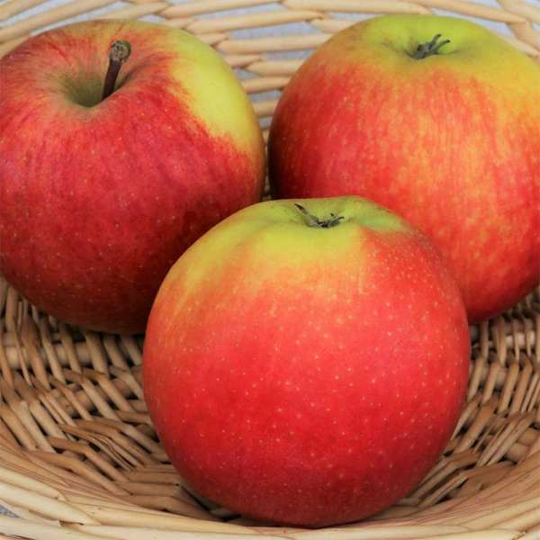 Herbstapfel / Apfelbaum Gala