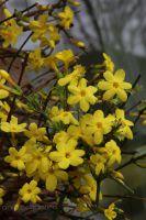 Winterjasmin Jasminum nodiflorum