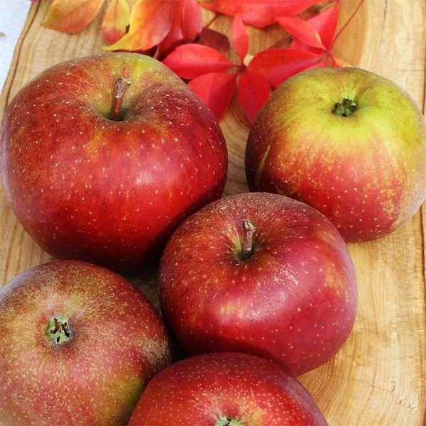 Apfelbaum Roter Boskoop