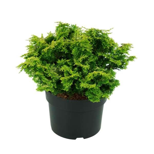 Muschelzypresse-Chamaecyparis-obtusa-Rashahiba-C4_6-25-30