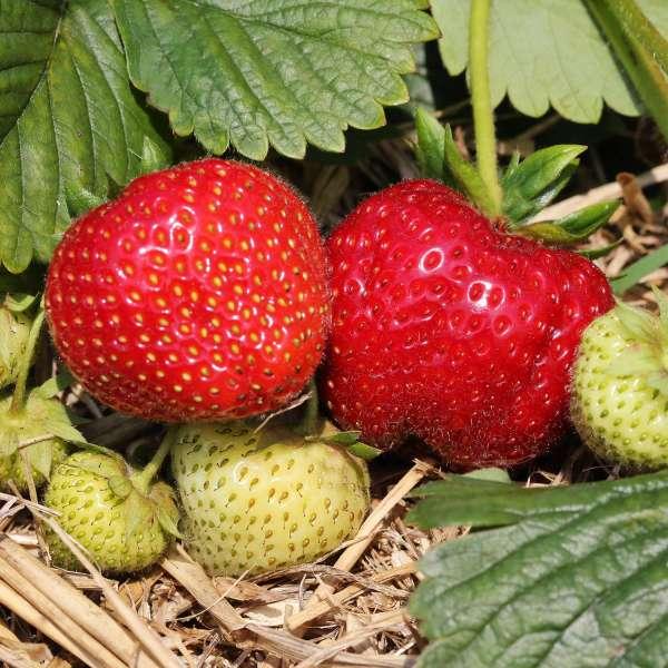 Erdbeere-Fragaria-Honeoye-01