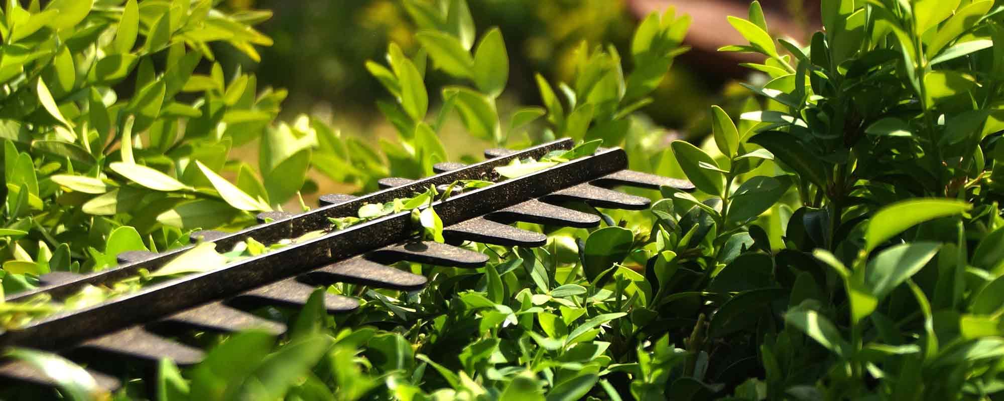 Immergrune Heckenpflanzen Online Kaufen Annas Garten