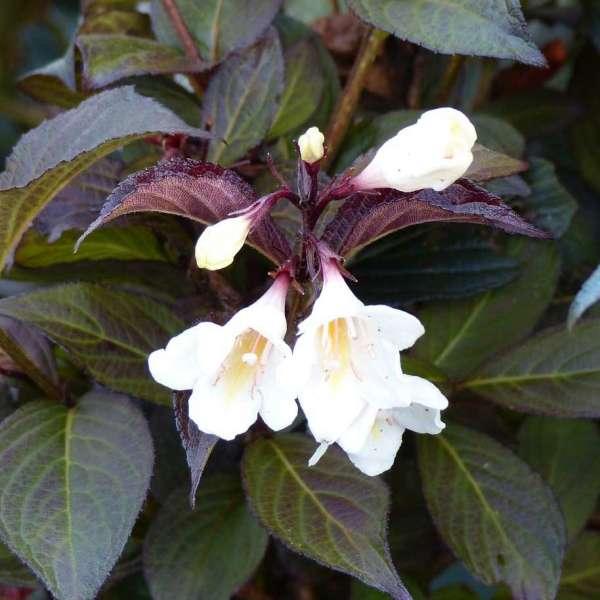 Weigelie Ebony and Ivory Blüten