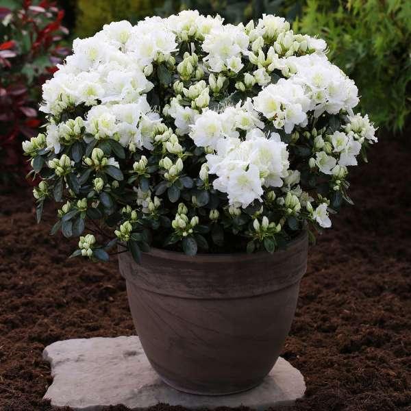Japanische-Azalee-Rhododendron-obtusum-Maischnee-01