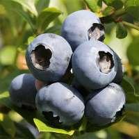 Heidelbeere Bluecrop