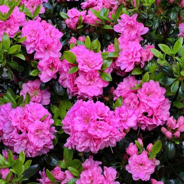 Japanische Azalee Rosinetta Blüten 02