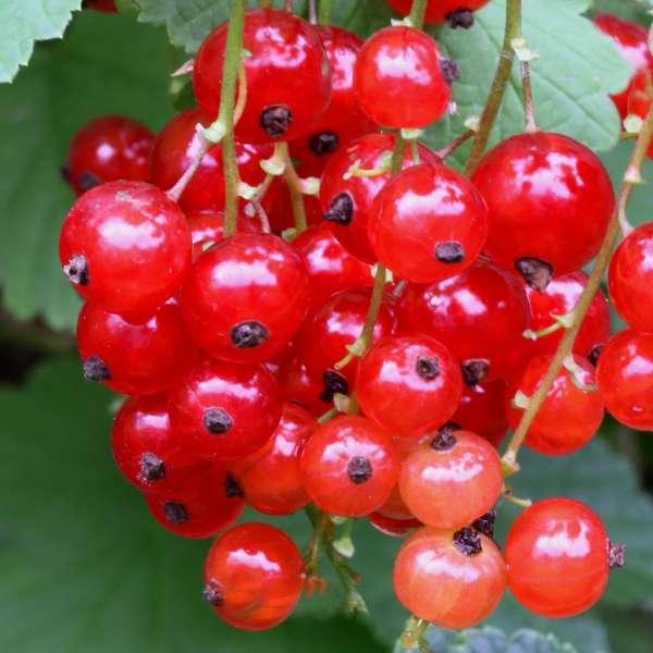 Rote-Johannisbeere-Ribes-rubrum-Jonkeer-van-Tets-01