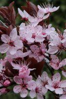 Blutpflaume Prunus cerasifera 'Nigra'
