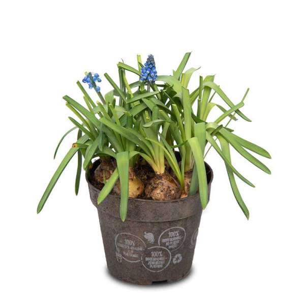 Pottburri Muscari - Set mit 3 Pflanzen