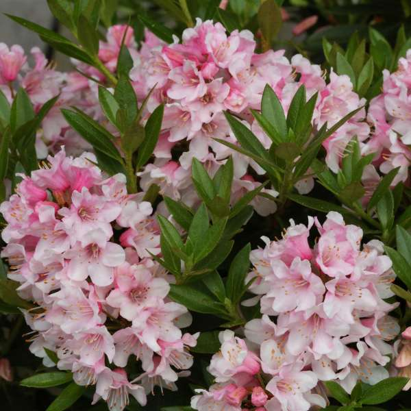 Rhododendron-Bloombux®-Pink-D1